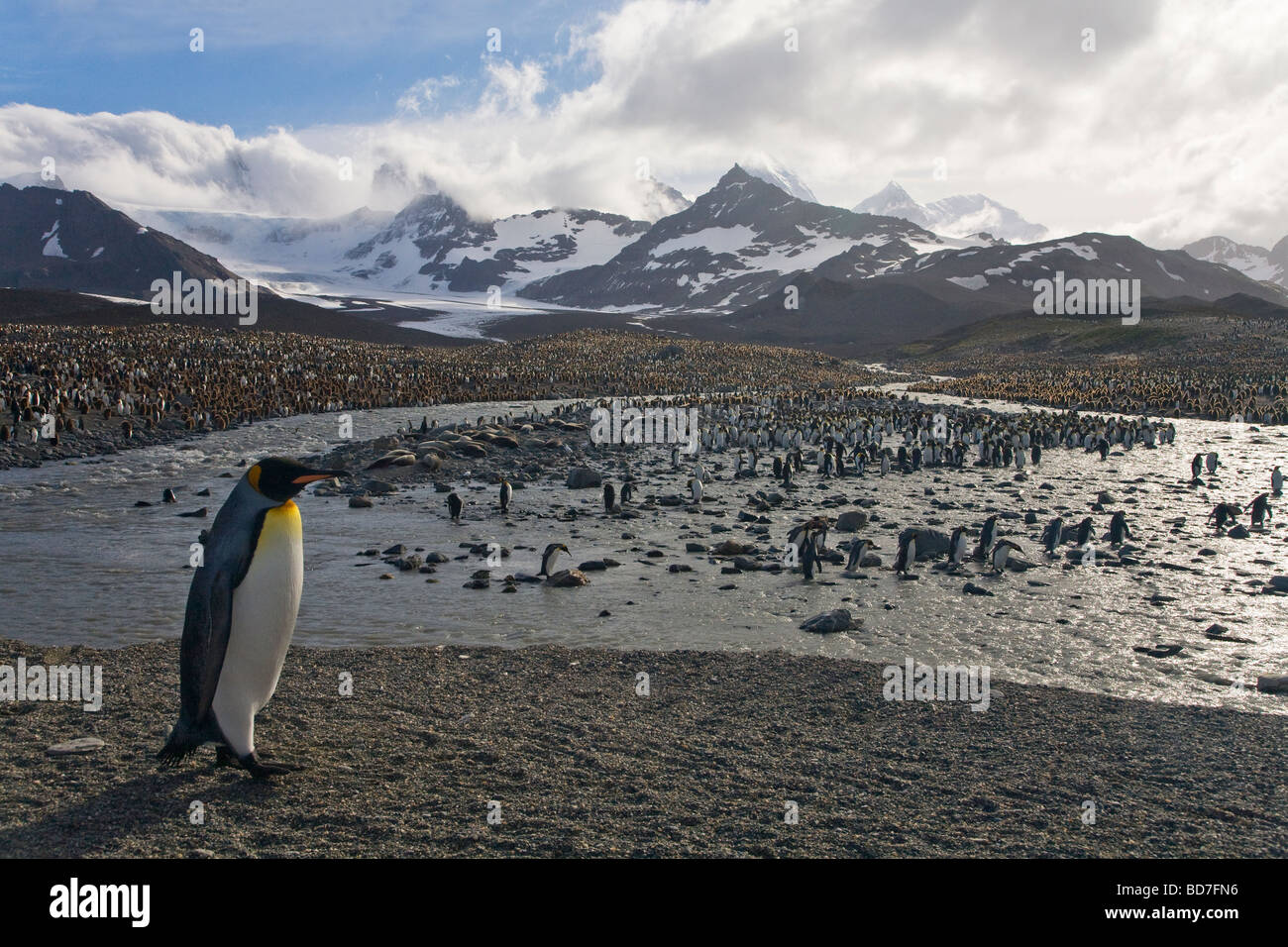 King Penguin Aptenodytes patagonicus breeding colony St Andrews Bay South Georgia Antarctica - Stock Image