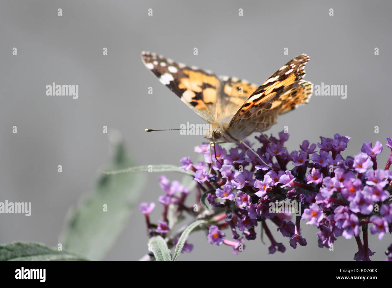 Painted lady butterfly on Buddleia plant - Stock Image