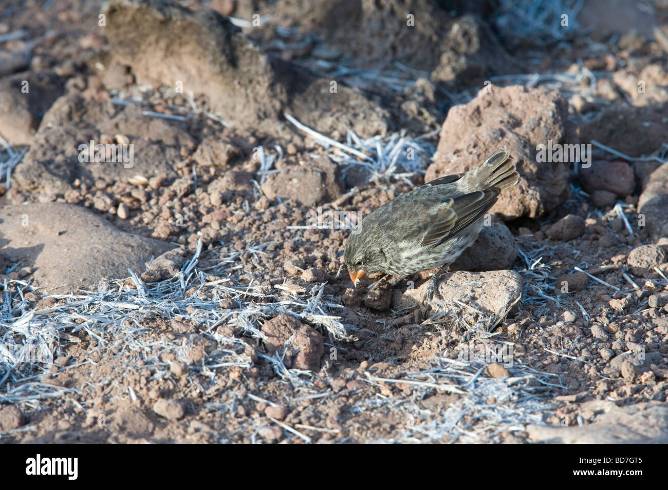 Small Ground Finch (Geospiza fuliginosa) juvenile feeding Santa Fe Island Galapagos Islands Ecuador Pacific Ocean - Stock Image