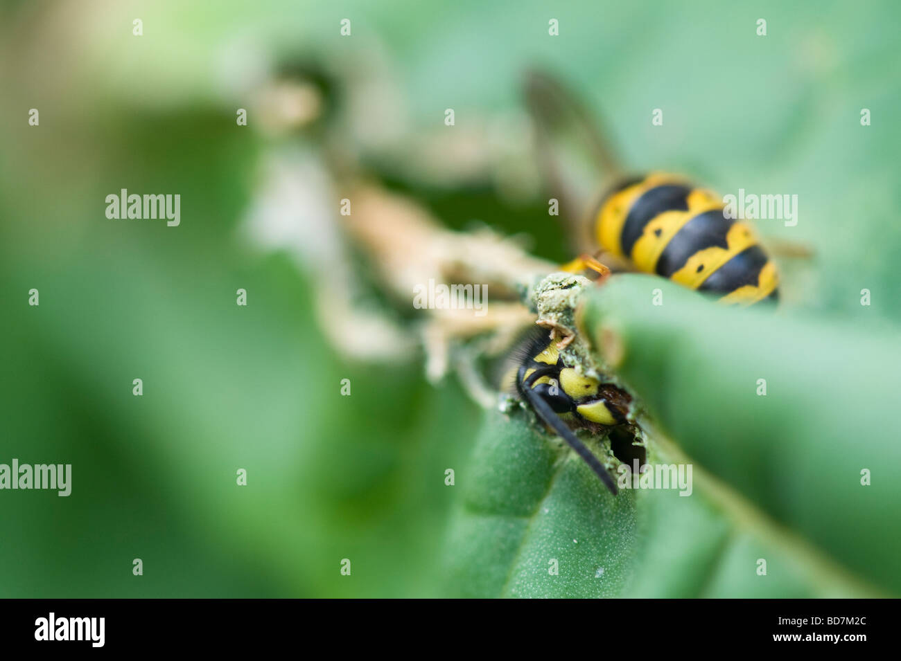 Vespula vulgaris. Wasps eating rhubarb leaves in an English garden. Gathering plant material for nest building Stock Photo