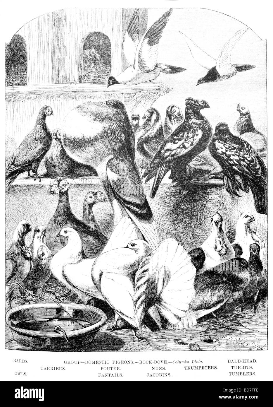 domestic pigeons rock dove columba livia barbs bal head carriers pouter nuns trumpeters turbits owls fantails jacobins Stock Photo