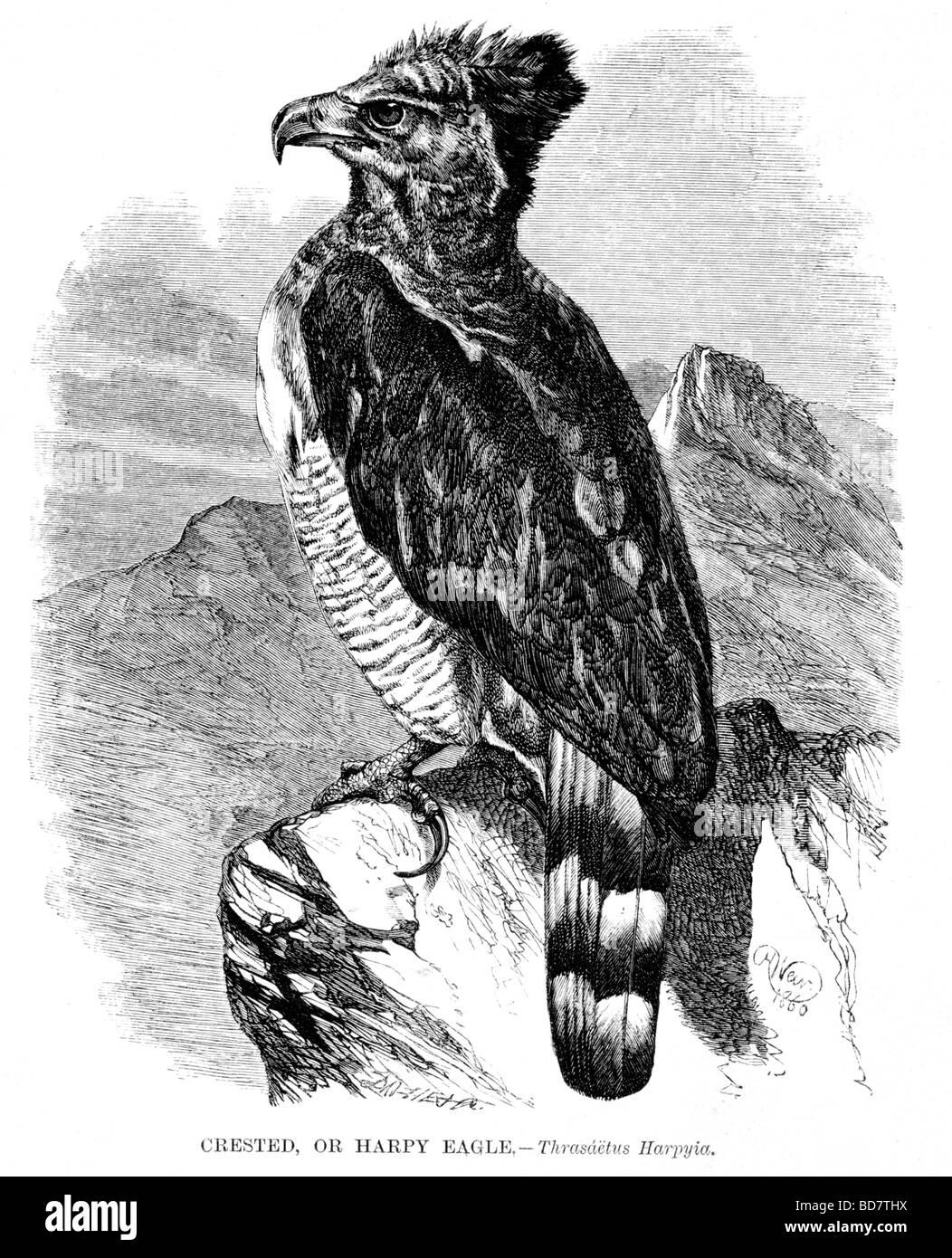 crested or harpy eagle thrasaetus harpyia bird of prey - Stock Image