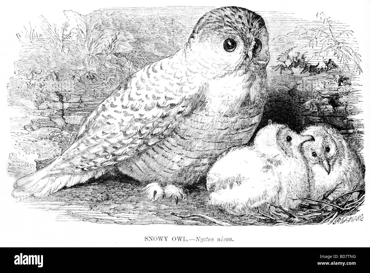 snowy owl nyctea nivea bird of prey - Stock Image