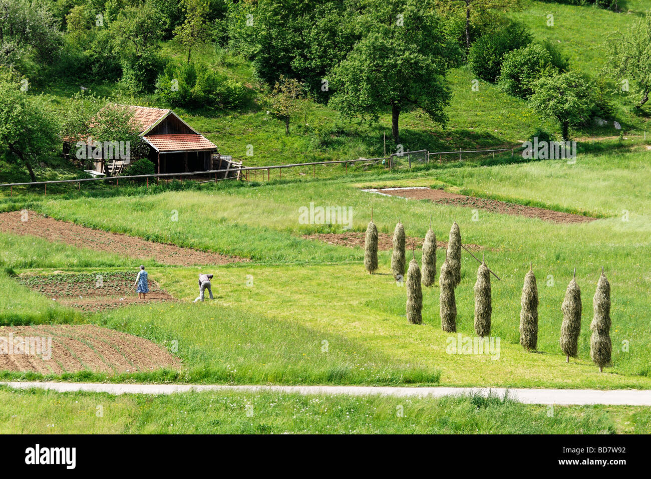An elderly couple tending their plot and hay drying on poles near Cerknica, Notranjska, Slovenia. - Stock Image