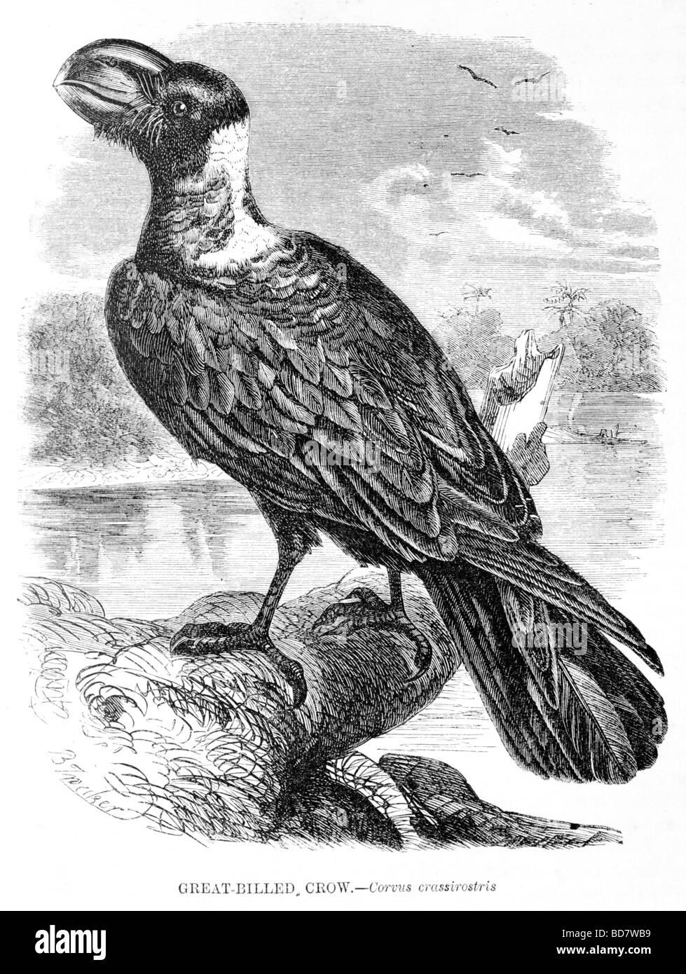 great billed crow corvus crassirostris - Stock Image