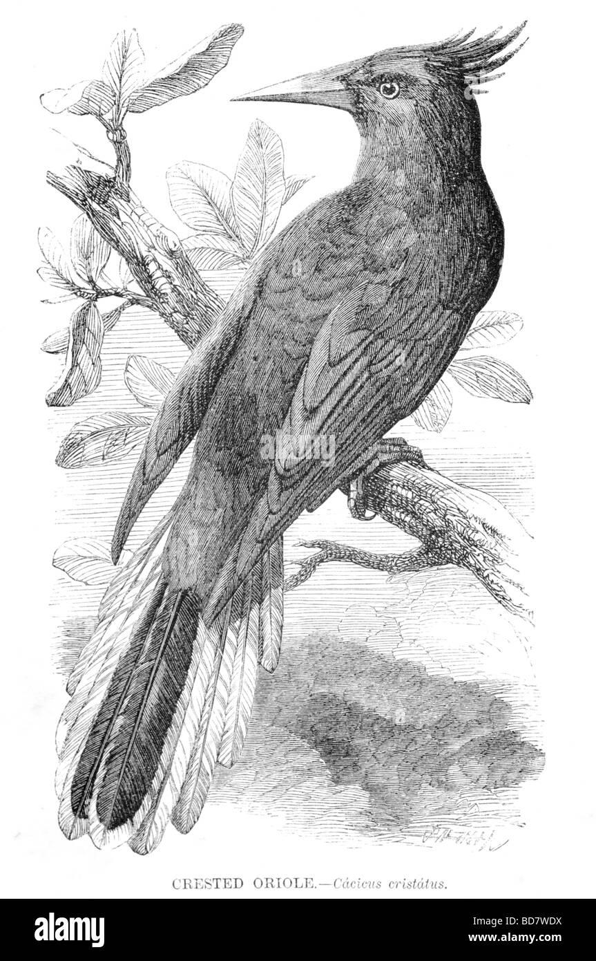 crested oriole cacicus cristatus bird - Stock Image