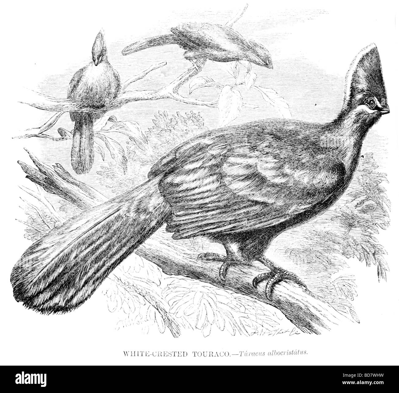 white crested touraco turacus albocristatus - Stock Image