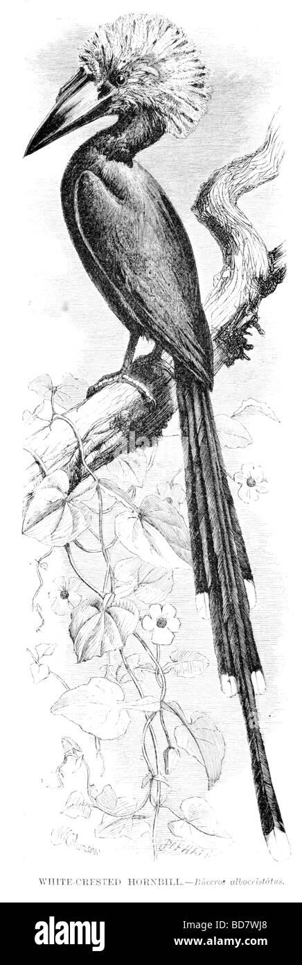 white crested hornbill buceros albocristatus - Stock Image