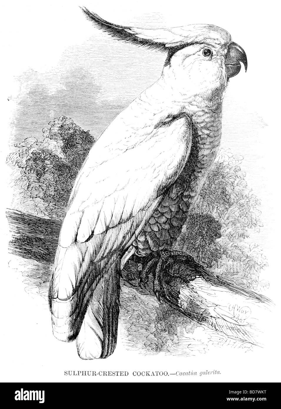sulphur crested cockatoo cacatua galerita - Stock Image