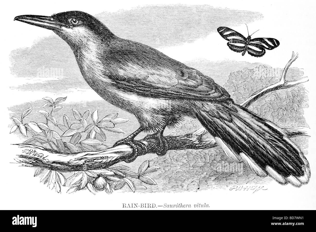 rain bird saurothera vetula - Stock Image