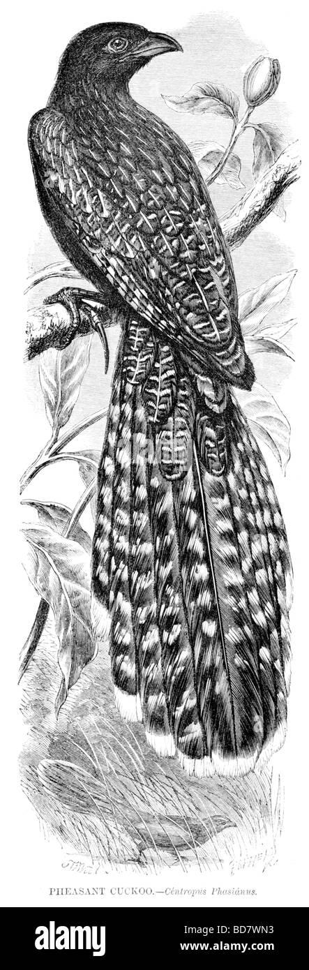 pheasant cuckoo centropus phasianus - Stock Image