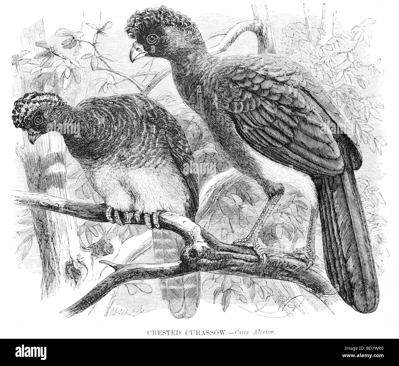 crested curassow crax alector - Stock Image