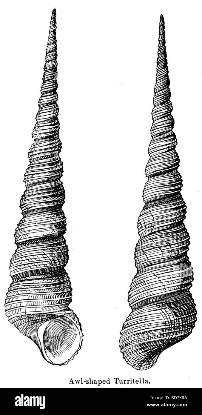 awl shaped turritella - Stock Image