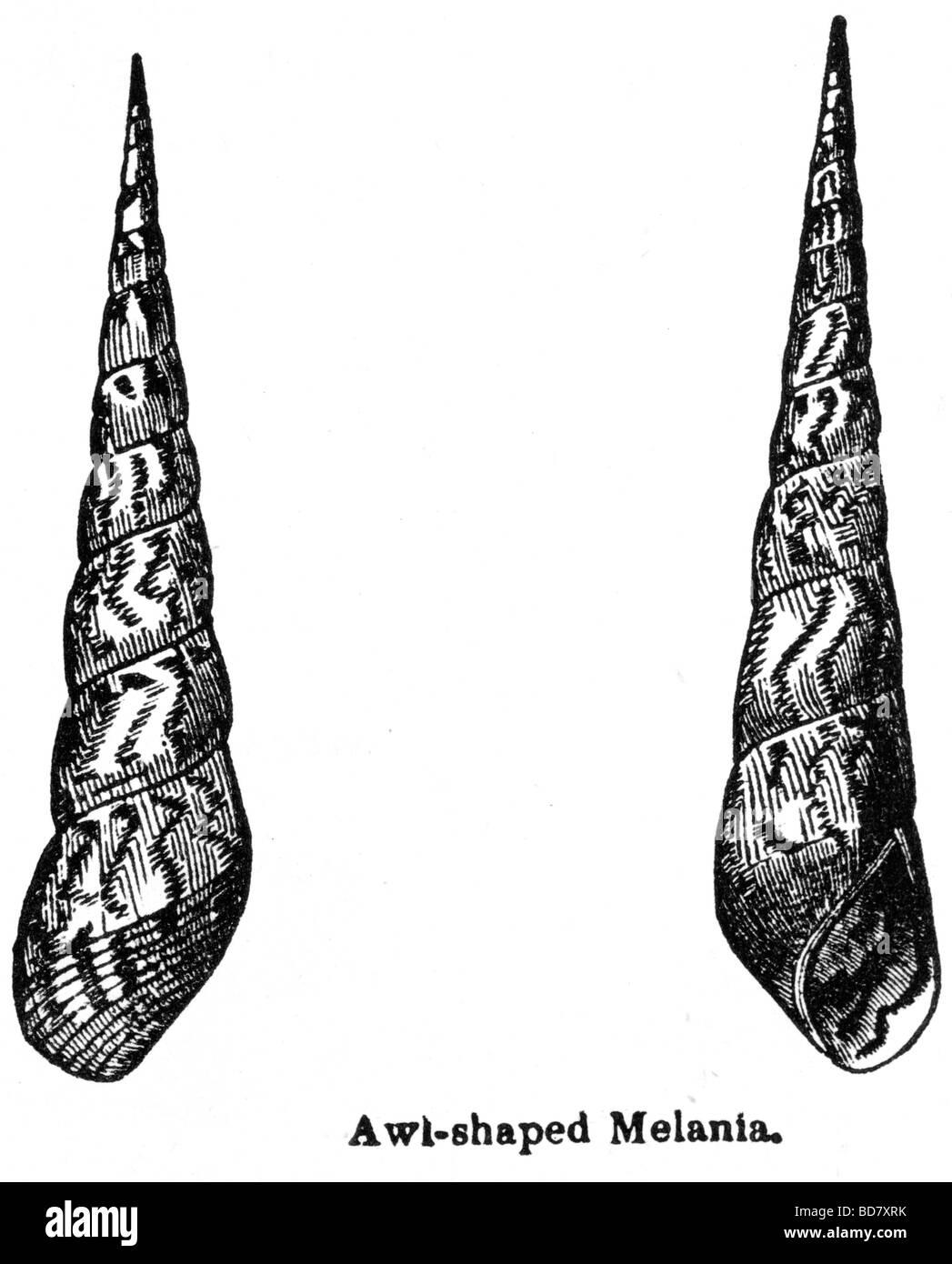 awl shaped melania - Stock Image