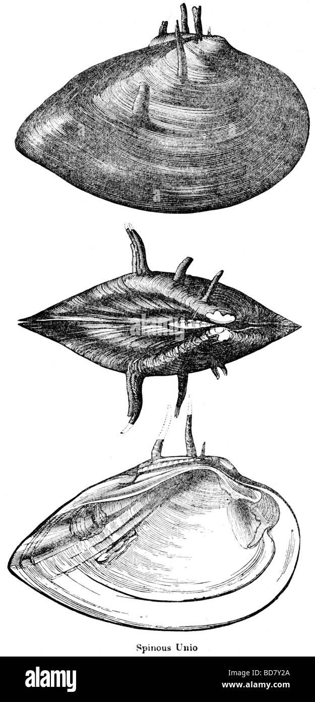 spinous unio - Stock Image