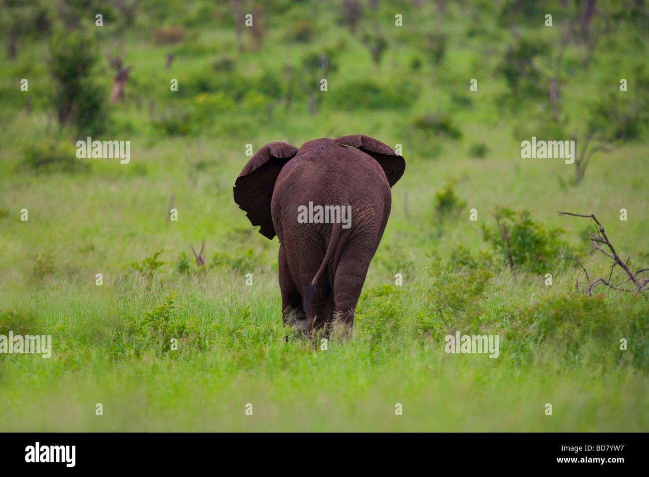 Elephant Loxodonta Africana Kruger NP South Africa - Stock Image