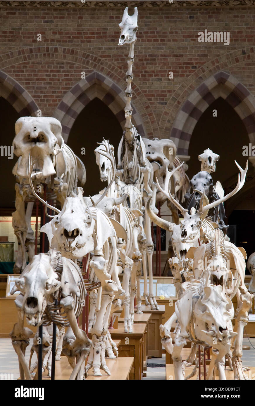 March of the skeletons- Pitt Rivers Museum Oxford - Stock Image