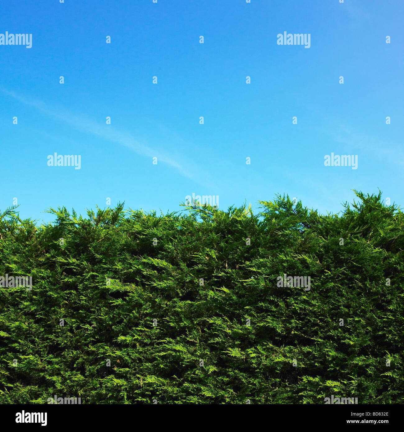 High Leylandii hedge and blue sky. - Stock Image