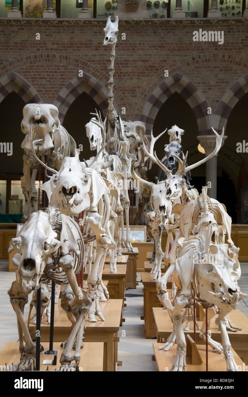 March of the skeletons 2- Pitt Rivers Museum Oxford - Stock Image