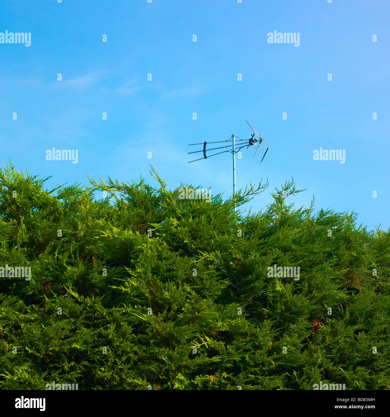 High Hedge with TV aerial behind. - Stock Image