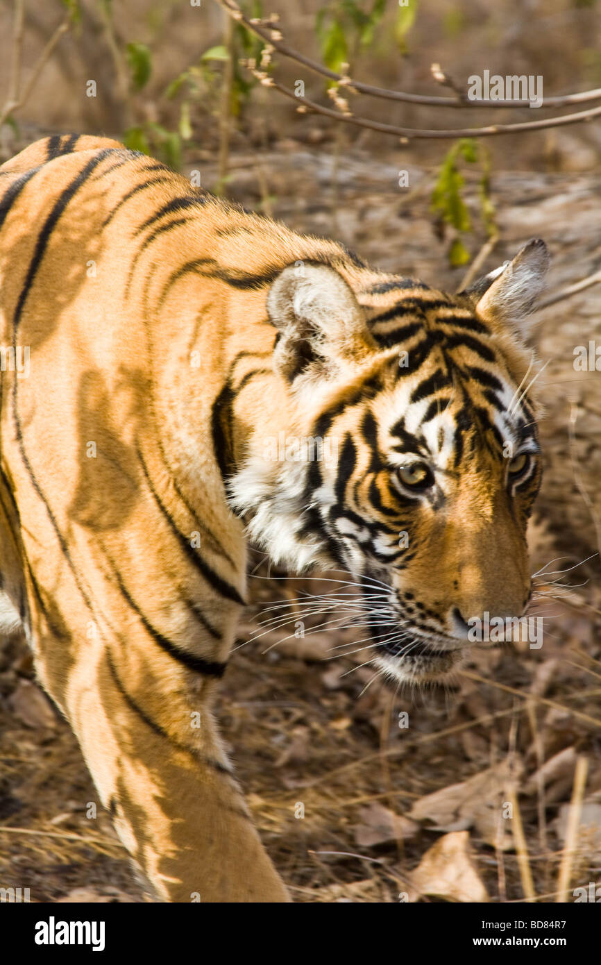 Close shot of a male tiger in Ranthambore Park, India - Stock Image