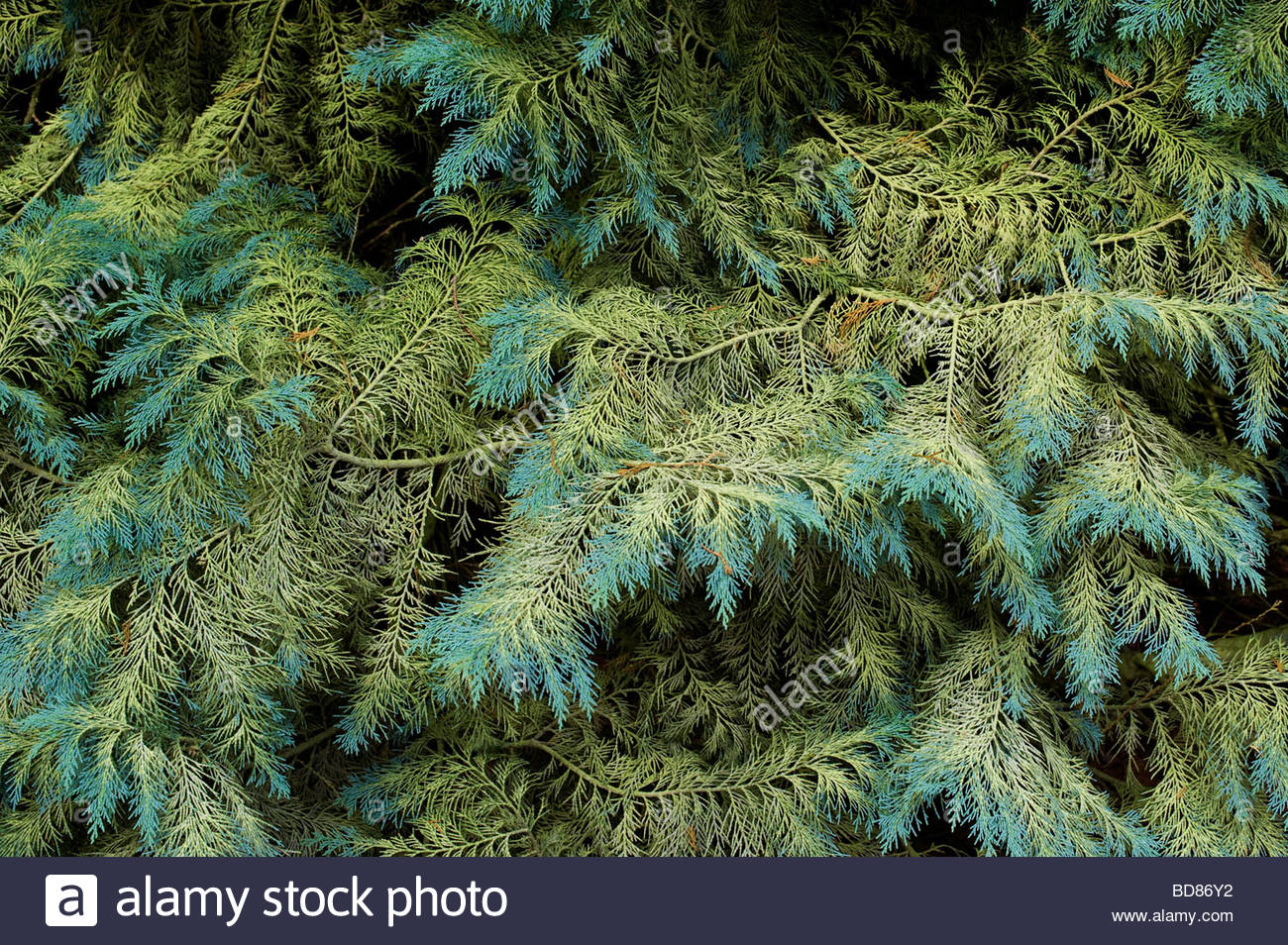 Chamaecyparis lawsoniana . Lawsons Cypress / Port Orford cedar tree foliage - Stock Image