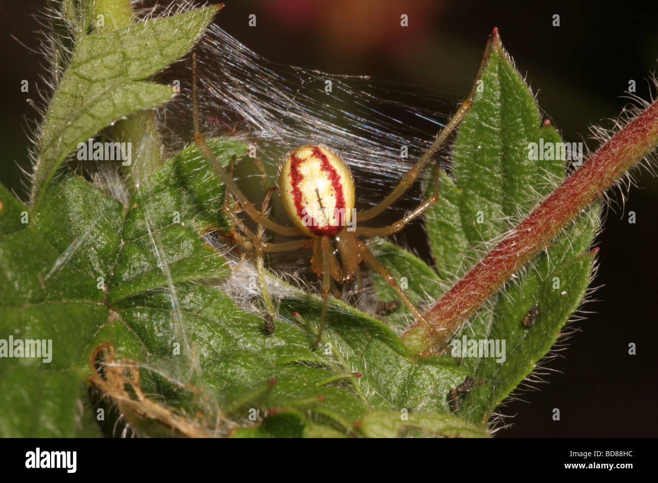 Red and white spider Enoplognatha ovata Theridiidae female in an urban garden UK - Stock Image