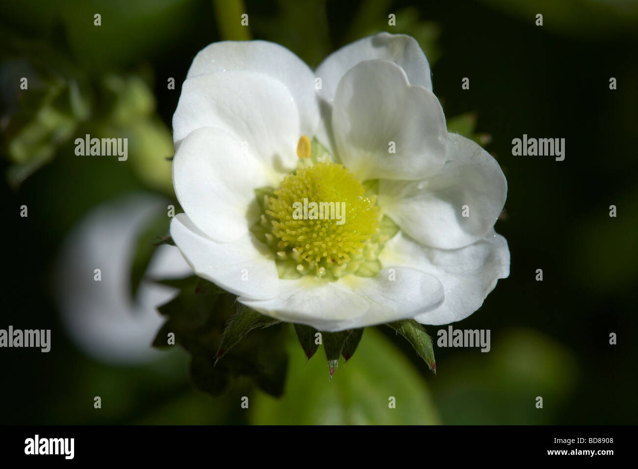 flower of the loran variety of garden strawberry fragaria x ananassa growing in a garden in the uk Stock Photo