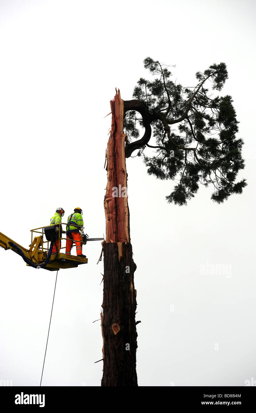 Tree surgeon's work on cutting down on a large tree after it was struck by lightning and damaged - Stock Image