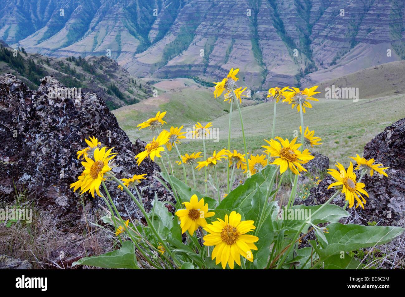 Imnaha Canyon with Balsomroot flowers Hells Canyon National Recreation Area Oregon - Stock Image
