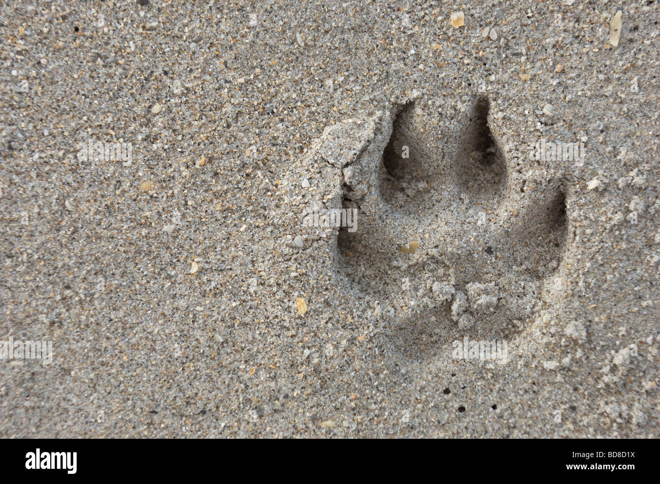 pawprint from do impression in sand - Stock Image