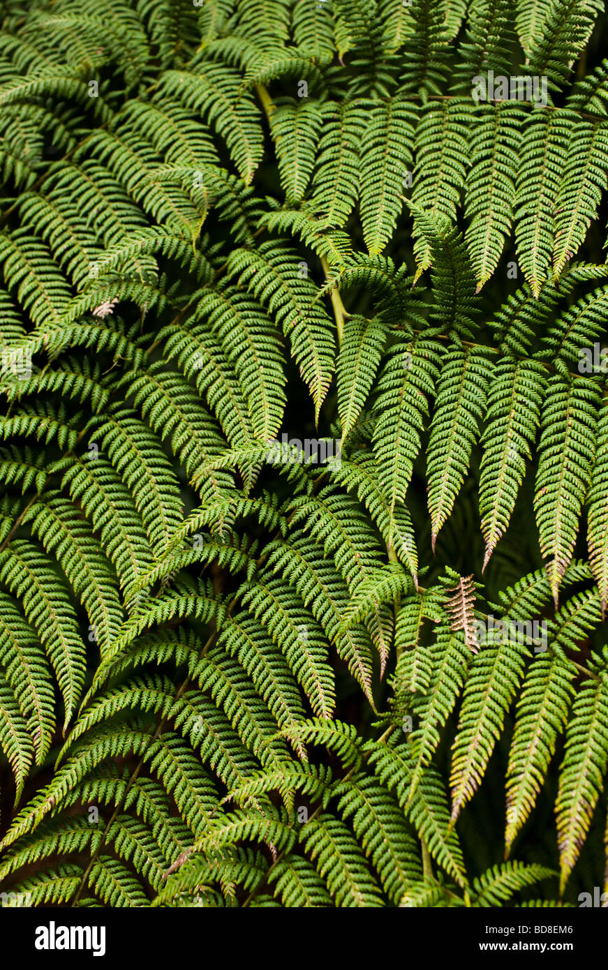 Tree Fern (Cyatheaceae) at Monteverde Cloud Forest Reserve in central Costa Rica. - Stock Image