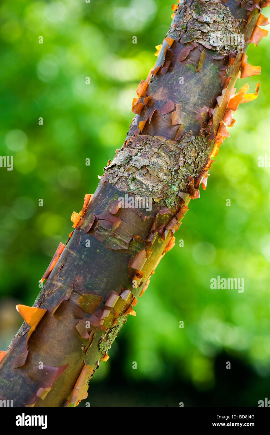 Acer griseum. Paperbark maple tree with peeling bark - Stock Image