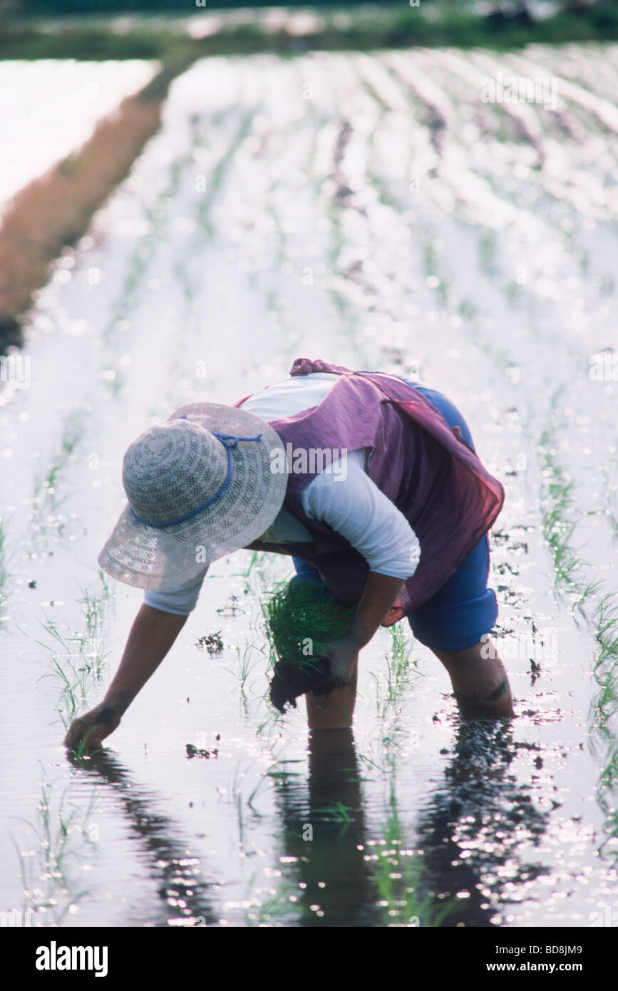 Japanese woman standing  in family rice paddy planting stalks of rice - Stock Image