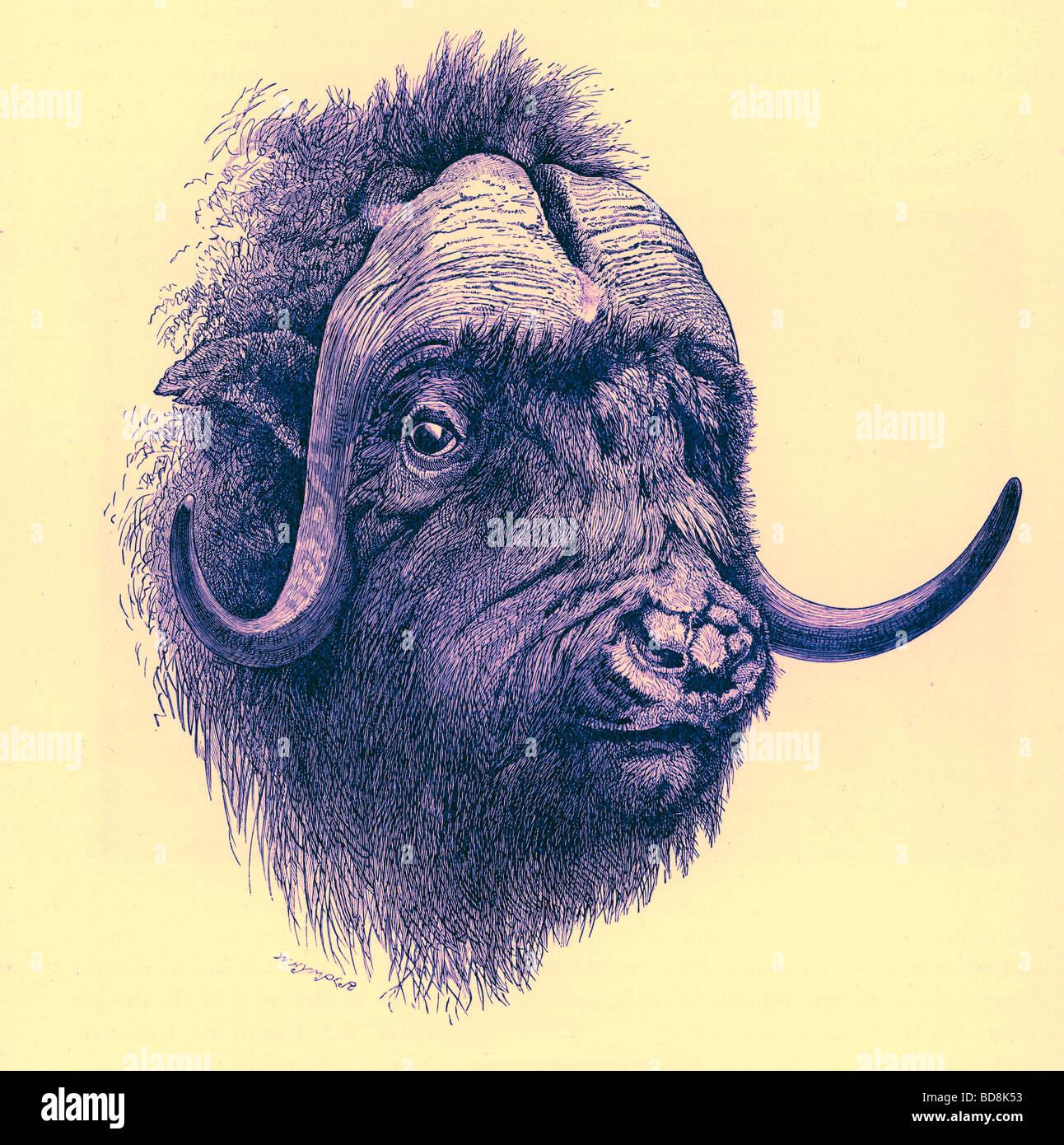 Bull Head Drawing Stock Photos & Bull Head Drawing Stock