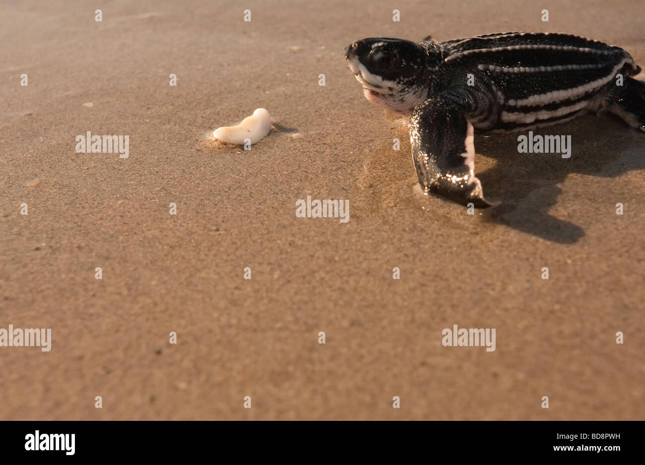 Leatherback sea turtle hatchling crawling towards the ocean - Stock Image