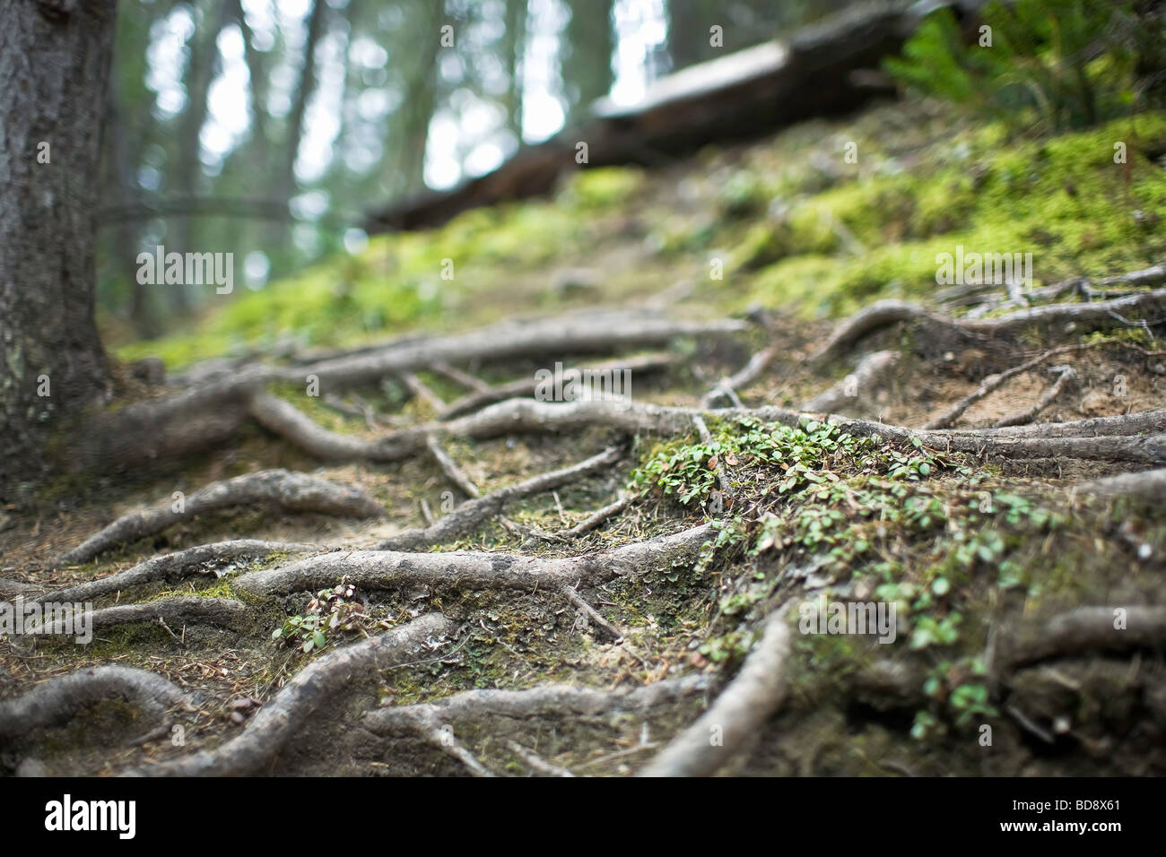 Exposed tree roots on a forested hillside.  Banff National Park, Alberta, Canada. - Stock Image