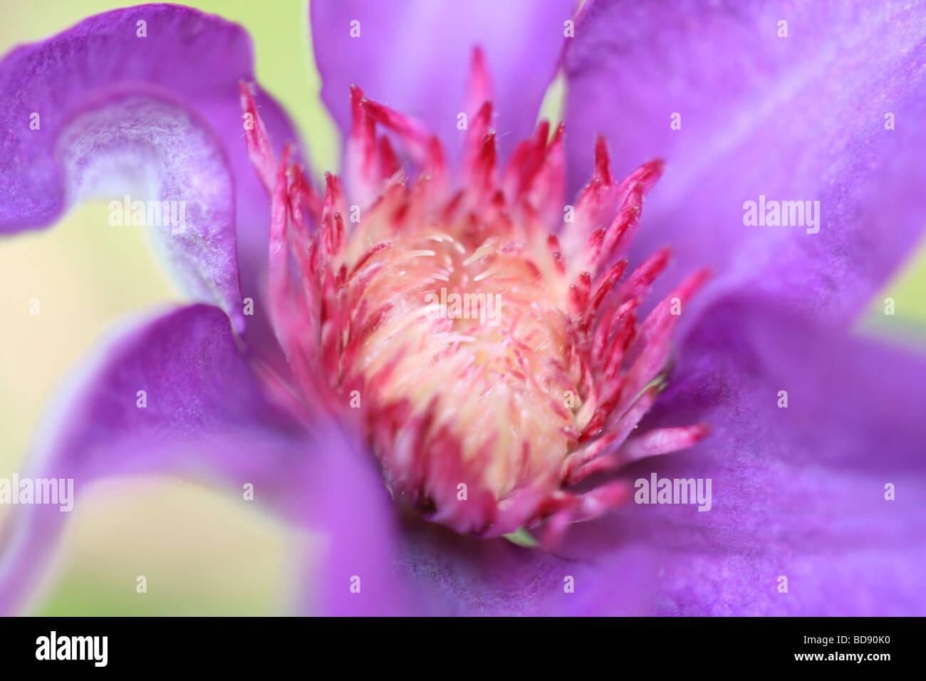stunning clematis fine art photography Jane Ann Butler Photography JABP536 - Stock Image