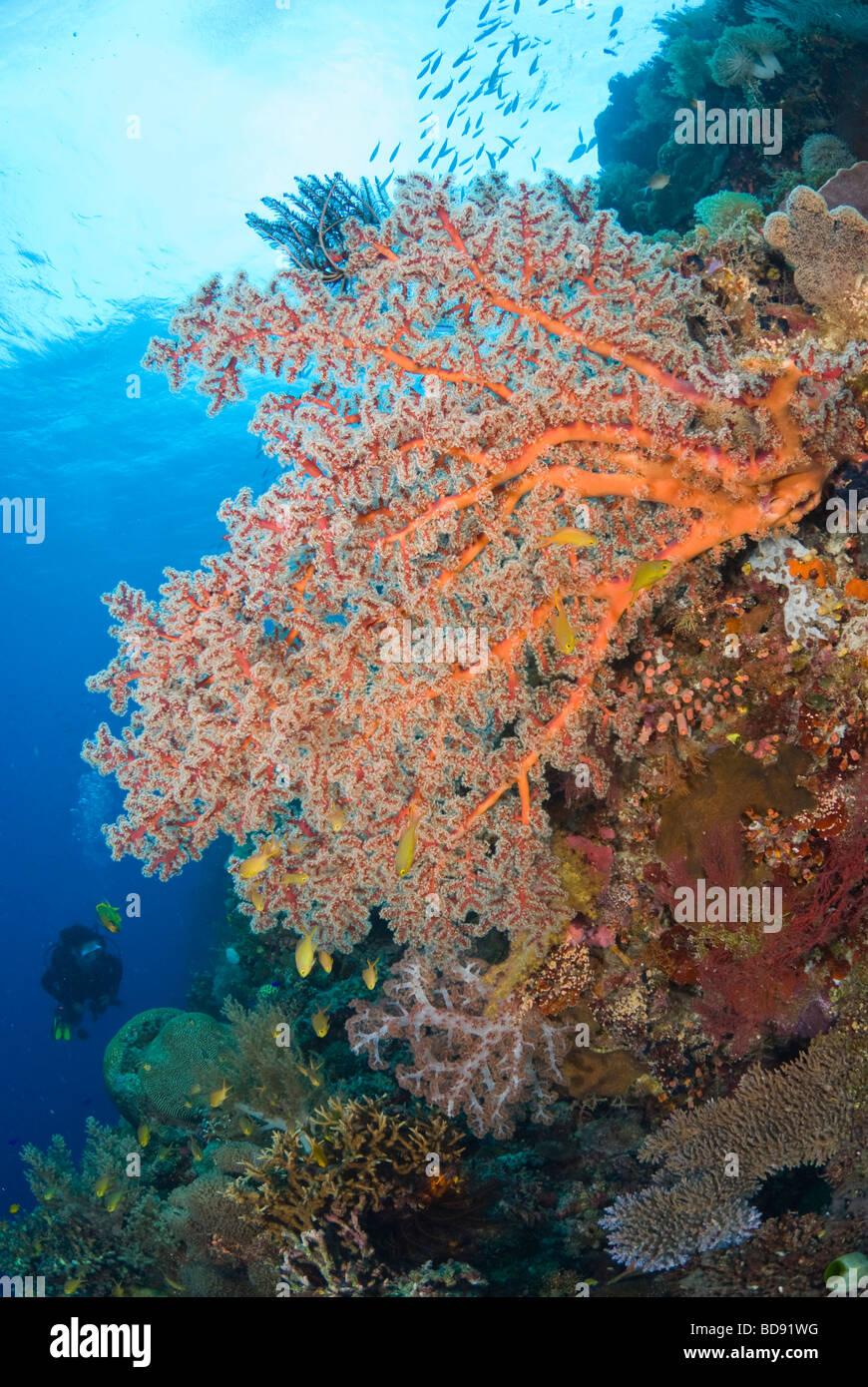 Scuba diver in philippine coral gardens, Cabilao, Philippines - Stock Image