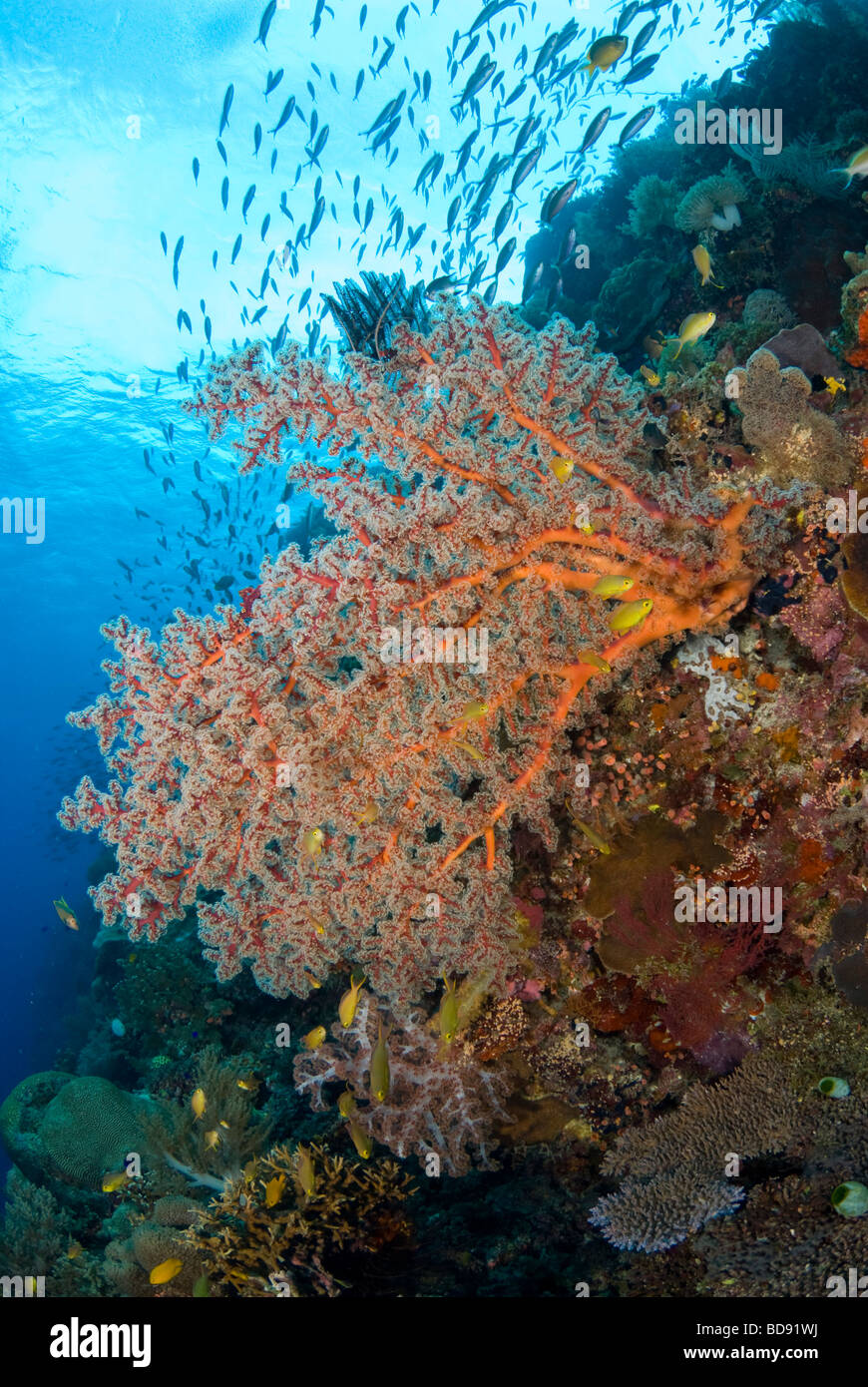 Philippine coral gardens, Cabilao, Philippines - Stock Image