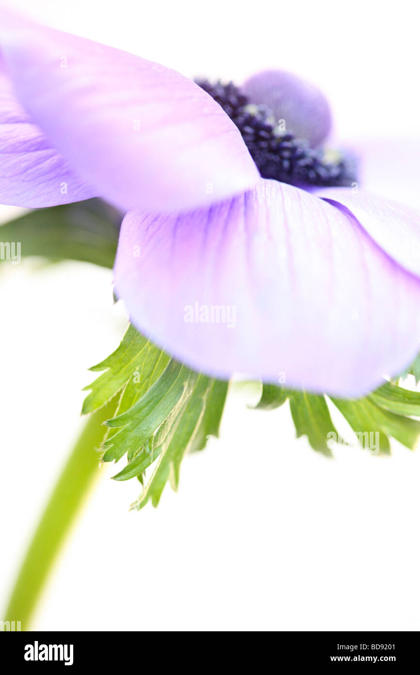 soft and romantic anemone still life on white fine art photography Jane Ann Butler Photography JABP529 - Stock Image