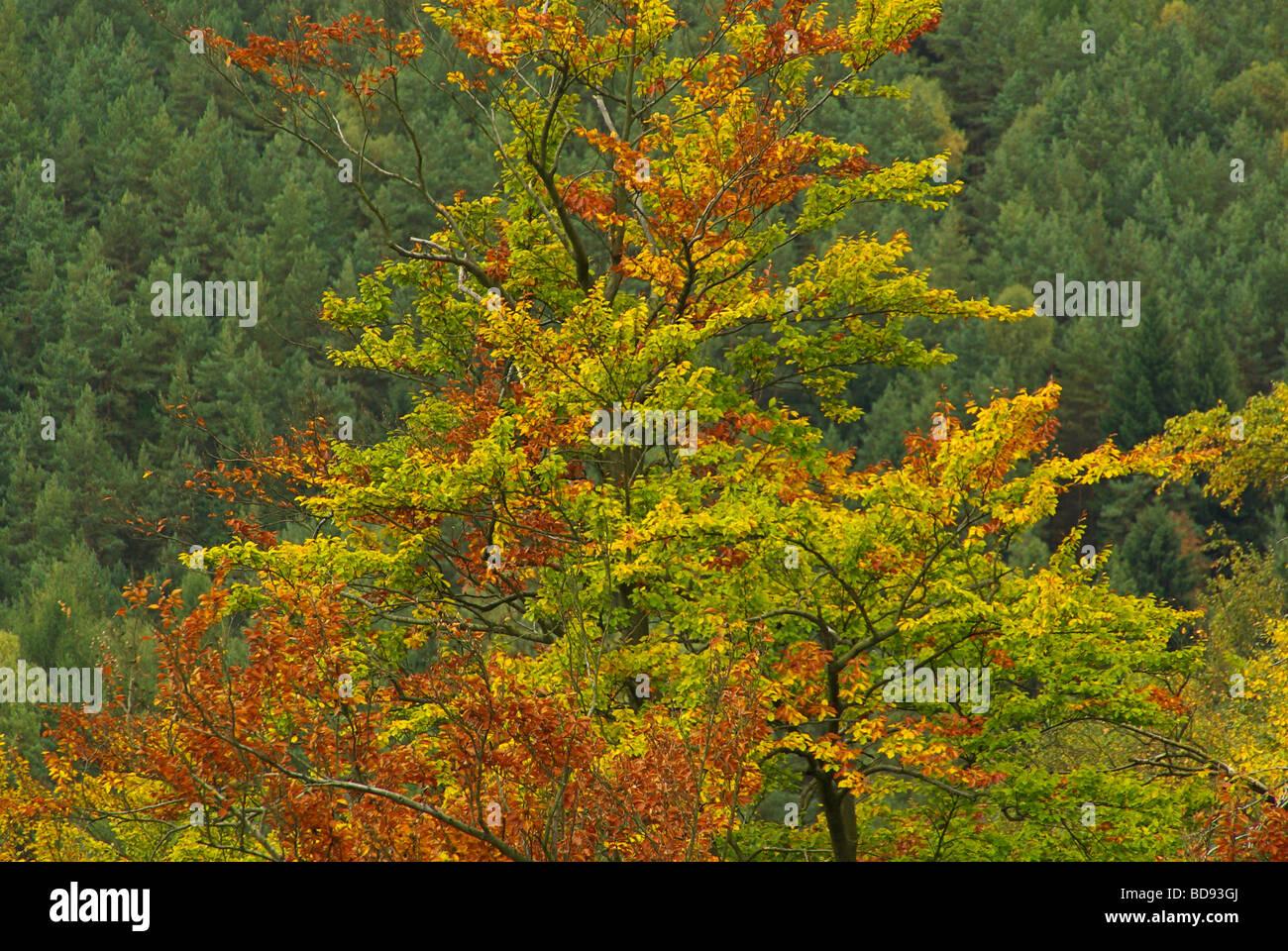 Buchenblatt Stock Photos & Buchenblatt Stock Images - Alamy