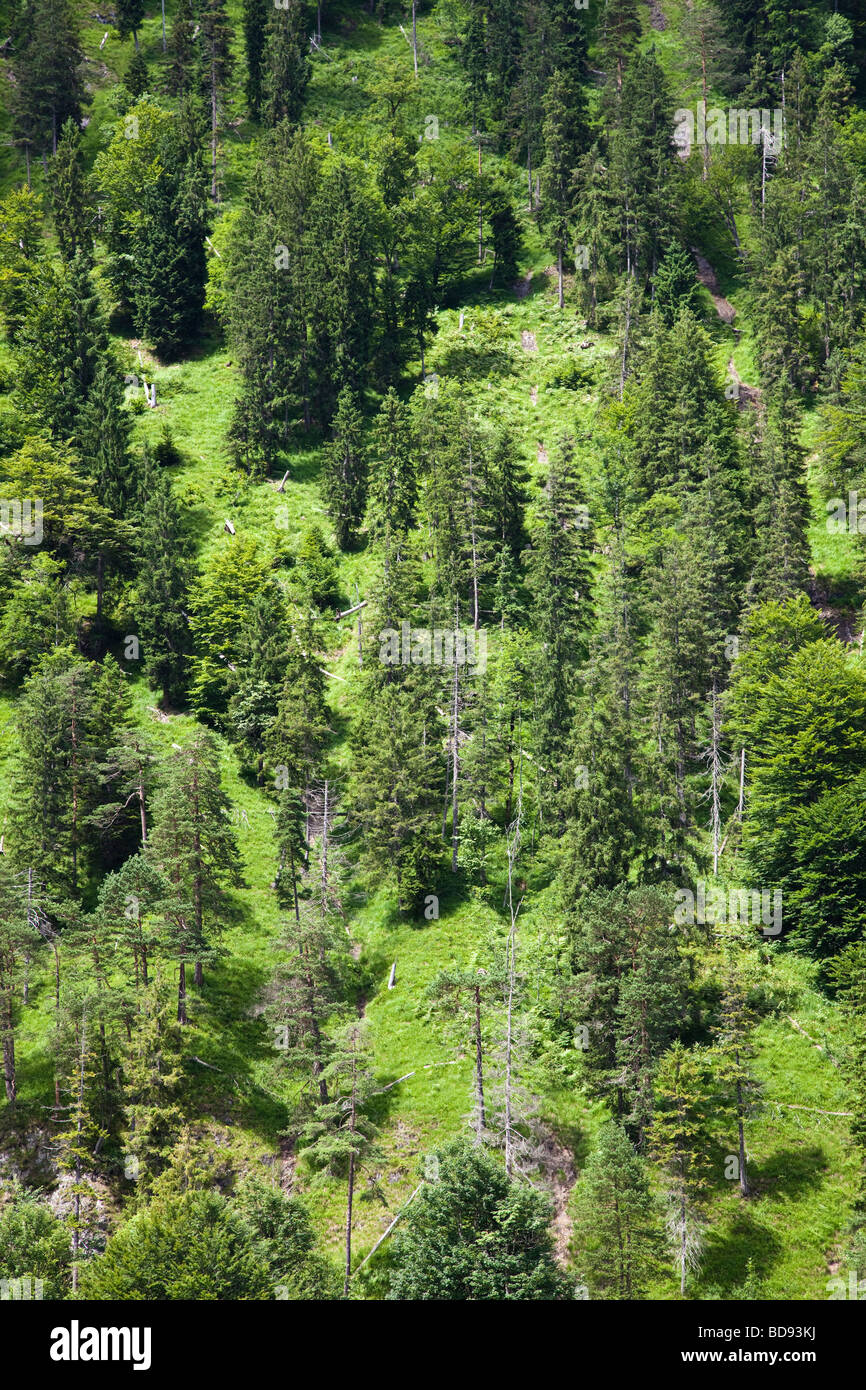 Conifer trees on a steep hillside - Stock Image