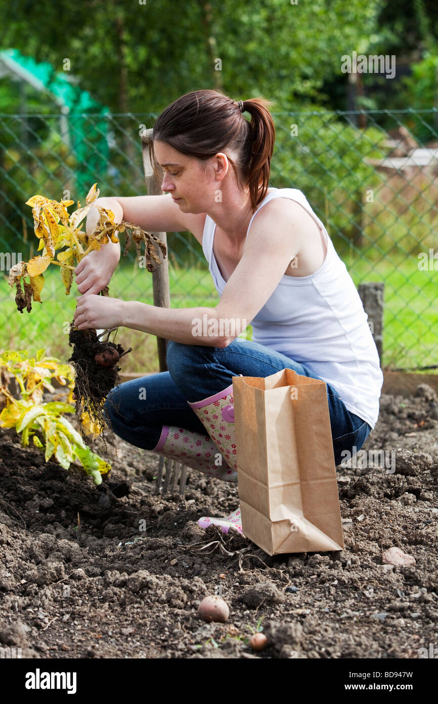 Female gardener pulling up potatoes - Stock Image
