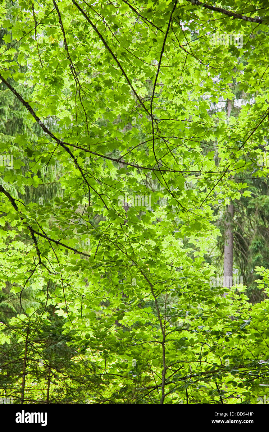 Dappled sunlight filtering through leaves and trees close up - Stock Image