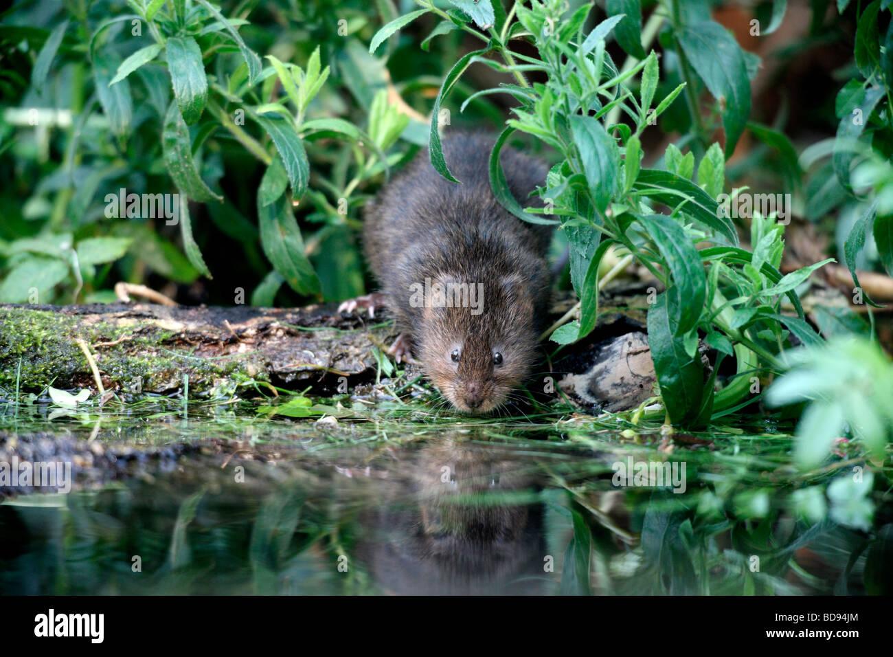Water vole Arvicola terrestris Kent August 2009 - Stock Image