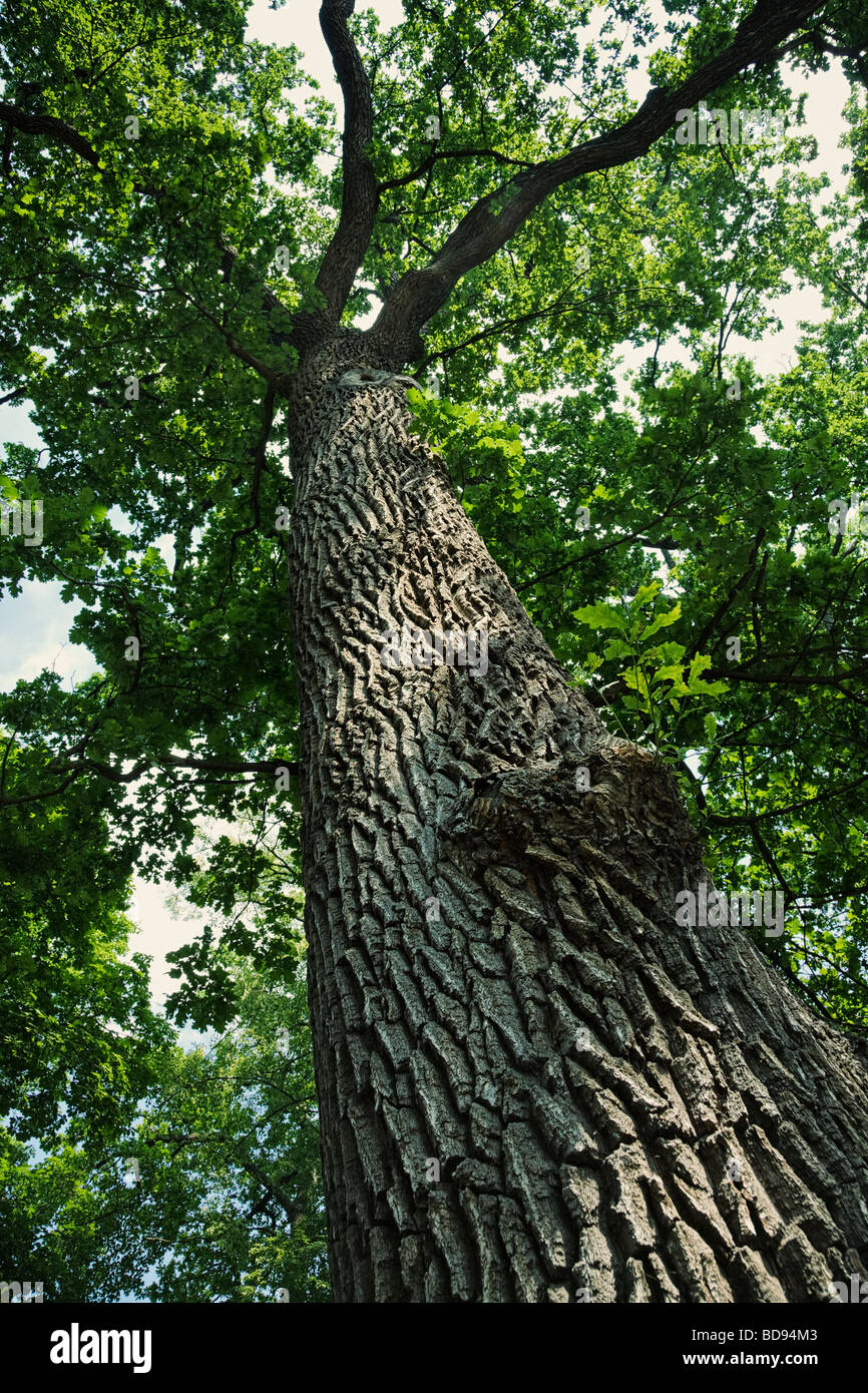 Looking up a tall oak tree with bark detail - Stock Image