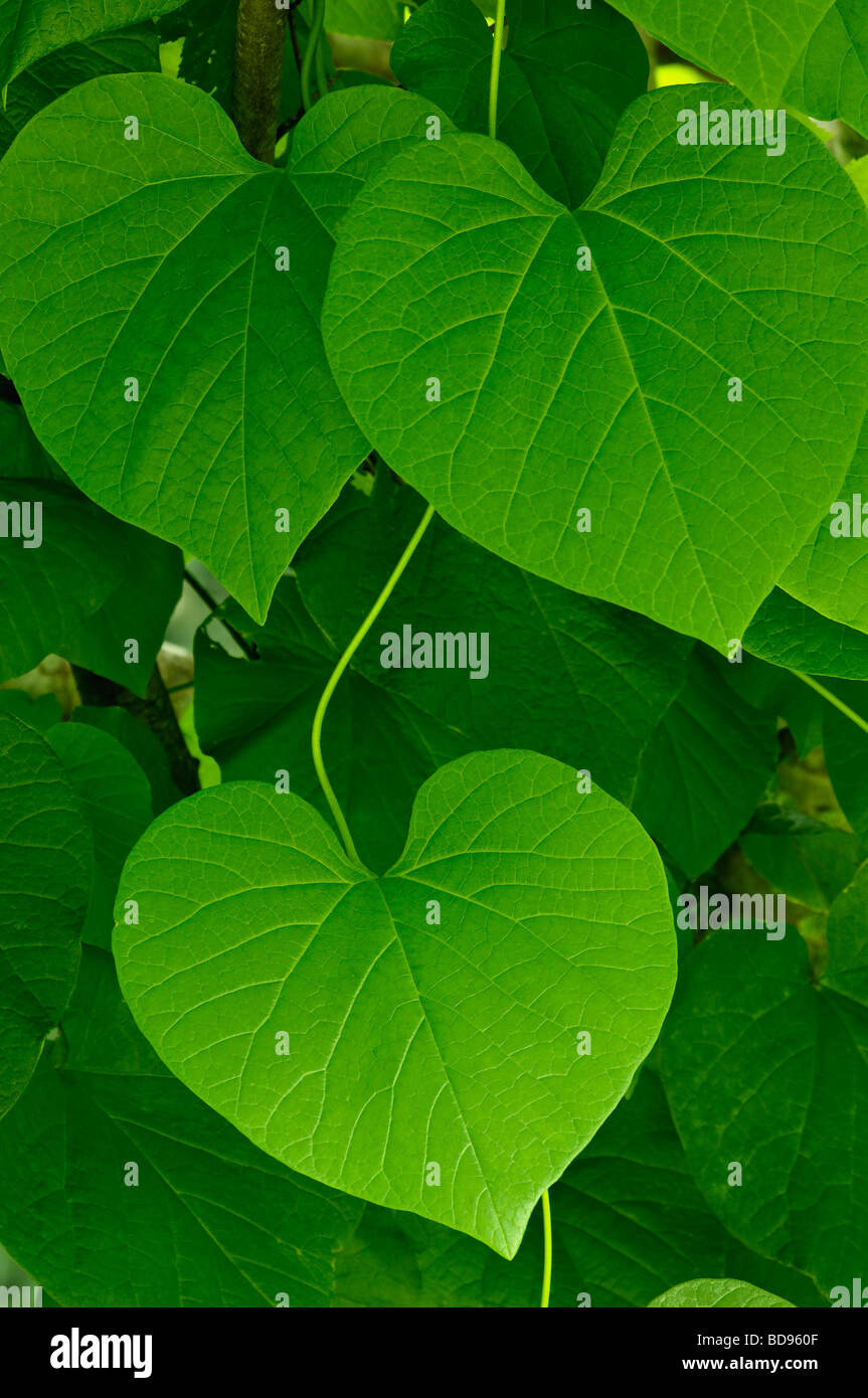 Heart shape vine leaf stock photos heart shape vine leaf stock heart shaped leaves on vine in great smoky mountains national park in tennessee stock image mightylinksfo