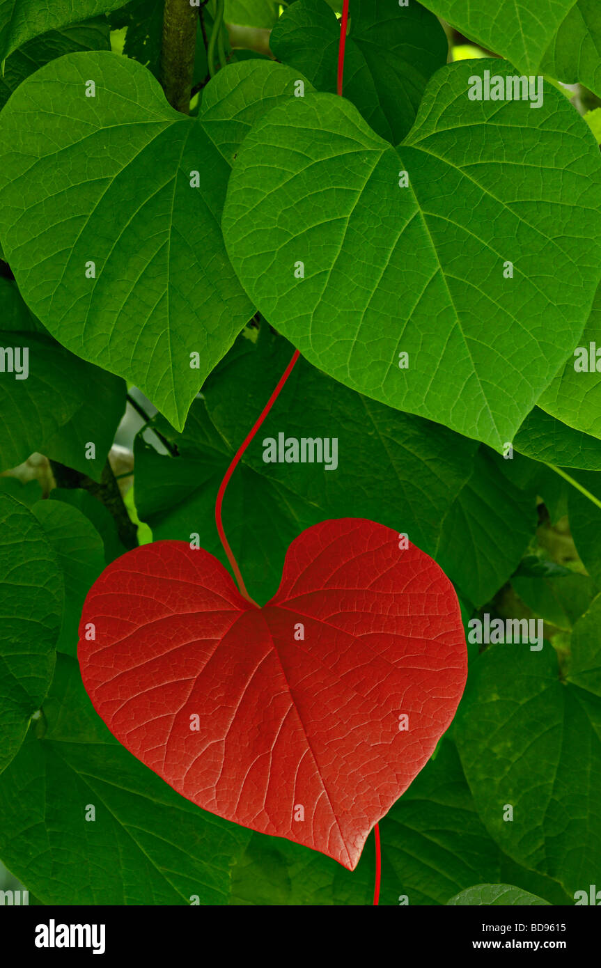 red heart shaped leaf and vine amid green stock photo 25403201 alamy. Black Bedroom Furniture Sets. Home Design Ideas