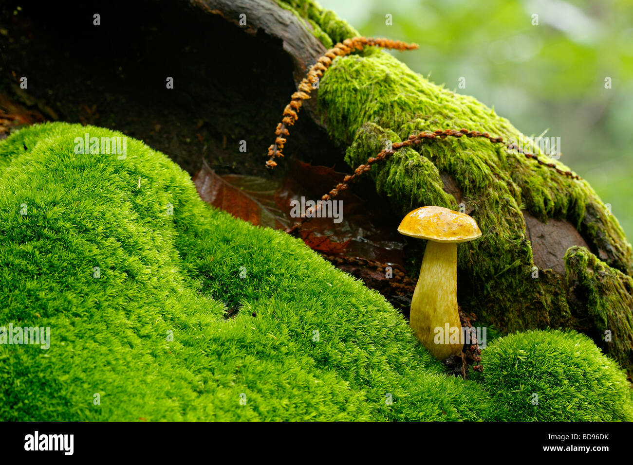Mushroom and moss on the trunk Asturias Spain - Stock Image